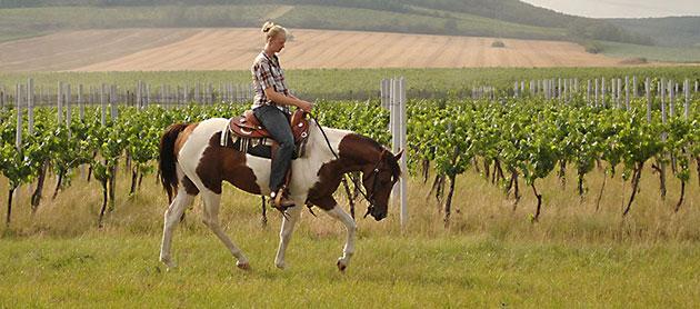 pronájem-jezdeckých-koní-1